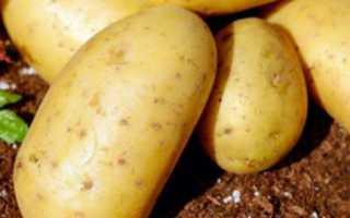 Рекордные и вкусные урожаи в короткие сроки — картофель Пароли: описание сорта и характеристика